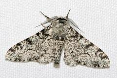 Olaf Leillinger_Moth_2